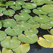Lilly pads on a small garden pond at Goa Gajah, Uban, Indonesia.