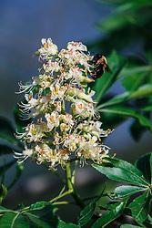 Bumblebee on Texas Buckeye Tree (Aesculus glabra var. arguta) in flower, Texas Buckeye Trail, Great Trinity Forest, Dallas, Texas, USA.