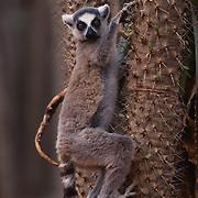 Ring-tailed Lemur, (Lemur catta) ENDANGERED SPECIES.Inhabits Madagascar.