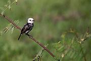 White-headed Marsh Tyrant (Arundinicola leucocephala)<br /> Rewa<br /> Guyana<br /> South America