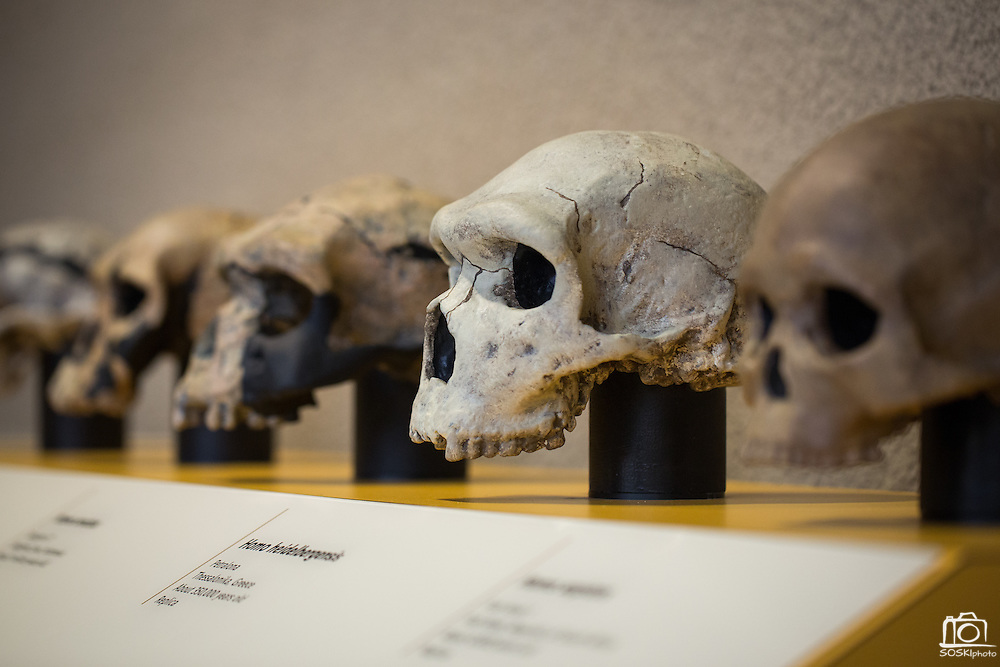 A display of skull casts is part of the Smithsonian Institution's traveling Exploring Human Origins exhibit at the Milpitas Library in Milpitas, California, on November 24, 2015. (Stan Olszewski/SOSKIphoto)