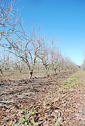 Israel, white almond blossoms on Almond trees in a plantation