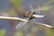 Male Broad-bodied Chaser dragonfly above a pond.