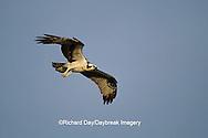 00783-00917 Osprey (Pandion haliaetus) female in flight    FL
