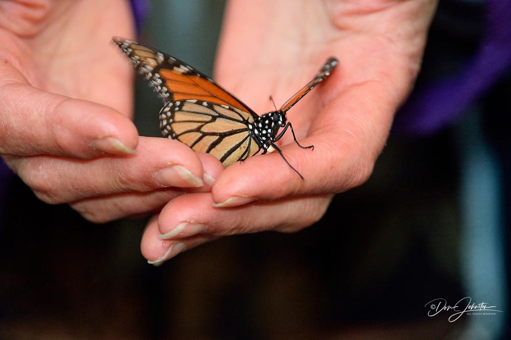 Monarch (Danaus plexippus) fallen specimen rescued and released, Pismo Beach State Park, California, USA