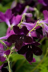Streptocarpus 'Black Panther'