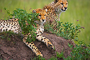 Cheetahs resting on rocks in the Serengeti, Tanzania