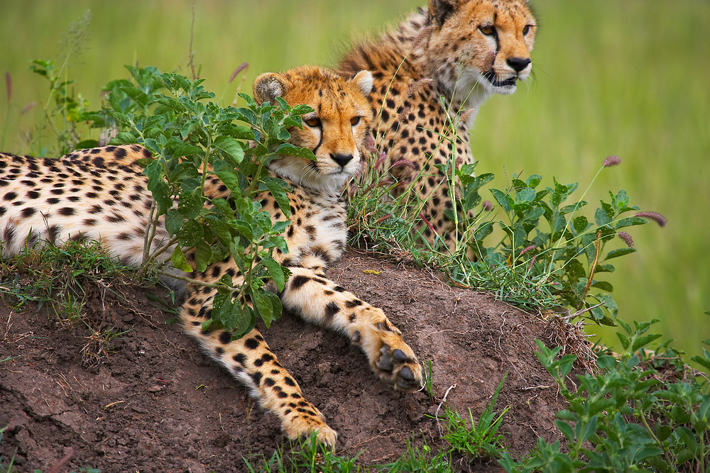 Cheetahs resting on rocks in the Serengeti, Tanzania
