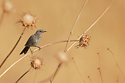 The Blackstart (Cercomela melanura) is a chat found in desert regions in North Africa, the Middle East and the Arabian Peninsula. Photographed in Israel in July
