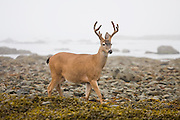 A blacktail deer (Odocoileus hemionus columbianus) buck walks along the beach on the North Coast, between Chilean and Norwegian Memorial, in Olympic National Park, Washington.