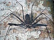 The whip spider Heterophrynus elaphus from La Selva, Ecuador.