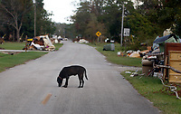 www.shawnrocco.com<br /> www.cellularobscura.com<br /> 919-812-8291<br /> shawnrocco@gmail.com<br /> <br /> <br /> <br /> A dog prowls the empty main road and piles of flood-damaged home furnishings in Lowland on September 8, 2011, almost two weeks after Hurricane Irene caused the Pamlico River to flood the town.