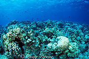 dead coral reef, killed by high water temperatures of 1998 El Niño, North Male Atoll, Maldives ( Indian Ocean )