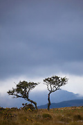Two trees on the Kerry Way, Torc Mountain, Kerry.