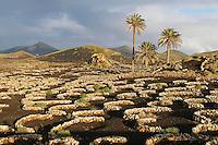 Espagne. Iles Canaries. Lanzarote. Culture de la vigne sur la lave. // Spain. Canary islands. Lanzarote. vineyard agriculture