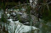 Alligator Taking a Mud Bath Along Biolab Road. Merritt Island National Wildlife Refuge in Florida. Image taken with a Nikon Df camera and 300 mm f/4 lens (ISO 100, 300 mm, f/5.6, 1/1250 sec).