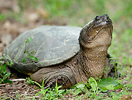 Wurtsboro, New York - A snapping turtle on the side of a road on May 28, 2011.