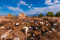 Goats in compound, Arbore tribe village, Omo Valley, Ethiopia.