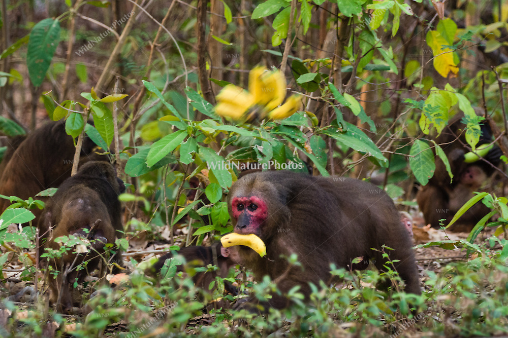 A Stump-tailed Macaque (Macaca arctoides) with a banana. These macaques spend the early morning traveling and feeding, and spend more time on the ground than in trees. Phetchaburi, Thailand.