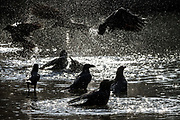 Jungle Crows (Corvus macrorhynchos japonensis) bathe in the lake in Yoyogi Park, Shibuya, Tokyo, Japan. Wednesday November 21st 2018