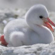 West Indian Flamingo (Phoenicopterus ruber) chick. Lake Windsor, Great Inagua, Bahamas