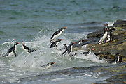 Rockhopper penguins porpoising out of the water to get to land. Rockhopper penguins are fast swimmers.