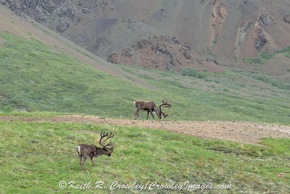 Two Caribou Bulls Graze in tundra habitat