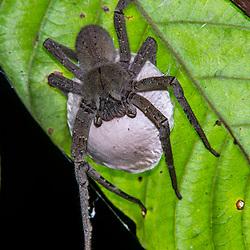 """""""Aranha-armadeira Phoneutria-nigriventer (Phoneutria nigriventer) fotografado em Linhares, Espírito Santo -  Sudeste do Brasil. Bioma Mata Atlântica. Registro feito em 2015.<br /> <br /> <br /> <br /> ENGLISH: Brazilian wandering spiders photographed in Linhares, Espírito Santo - Southeast of Brazil. Atlantic Forest Biome. Picture made in 2015."""""""