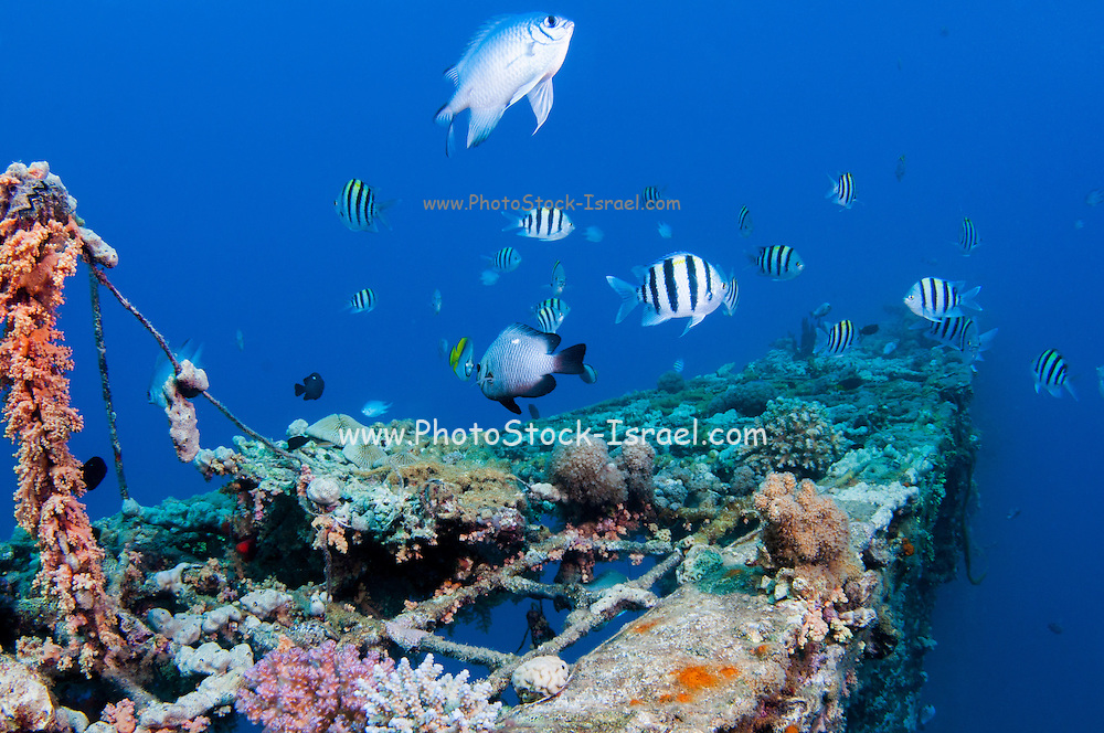fish and scuba diver at a coral reef, Photographed at 10m, Red Sea, Eilat, Israel