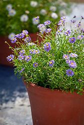 Brachyscome multifida Blue in a terracotta pot