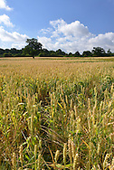 Summer field of ripening wheat, Berkshire, Uk