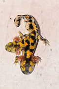 Two month old, Two-headed Near Eastern fire salamander (Salamandra infraimmaculata) tadpole that was born in a community ecology lab at the University of Haifa, Israel. both heads of the tadpole are moving, but only one has been observed snapping up insect larvae.