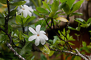 Tahitian tiare, Gardenia, Moorea, French Polynesia