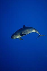 False Killer Whale, Pseudorca crassidens, off Kohala Coast, Big Island, Hawaii, Pacific Ocean