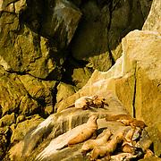 Stellar's sea lions at home in Aialik Bay in Kenai Fjords National Park Alaska