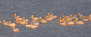 A flock of Great White Pelican, (Pelecanus onocrotalus) in the water. This bird, also known as the eastern white pelican, lives in large colonies in Africa and Eurasia. It feeds almost exclusively on fish which it catches by plunging its large bill into the water. It may reach a length of up to 180 centimetres, with a wingspan of almost four metres. Photographed in Israel in August