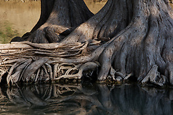 Cypress tree roots exposed during low water on the Guadalupe River near New Braunfels, Texas.