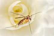 Macro picture of Mosquito on a flower | Makrobilde av en mygg på en blomster.
