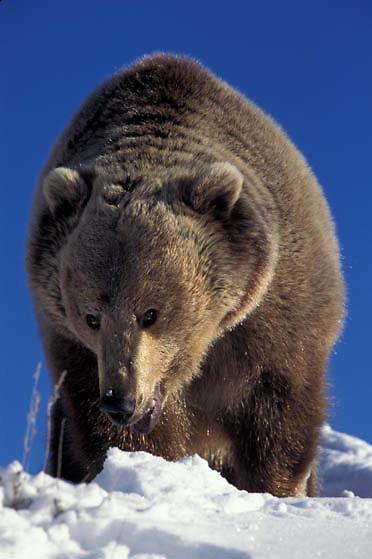 Grizzly Bear, (Ursus horribilis) Montana. Portrait of adult. Rocky mountains. Winter.  Captive Animal.