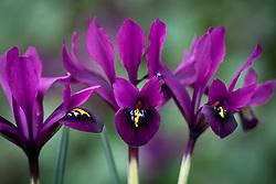 Iris 'George' syn. Iris histrioides 'George' - Reticulata