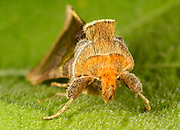 An extreme close-up front view of the furry head of a Burnished brass moth (Diachrysia chrysitis) resting on a leaf in a Norfolk garden in summer