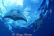 manta rays, Mobula alfredi (formerly Manta alfredi) or Mobula birostris,  Bay of Wrecks, Christmas ( Kiritimati ) Island, Line Islands, Kiribati ( Central Pacific )