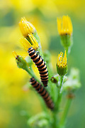 Two cinnabar moth caterpillars (Tyria jacobeae) feeding on common ragwort (Senecio jacobaea) in an urban garden