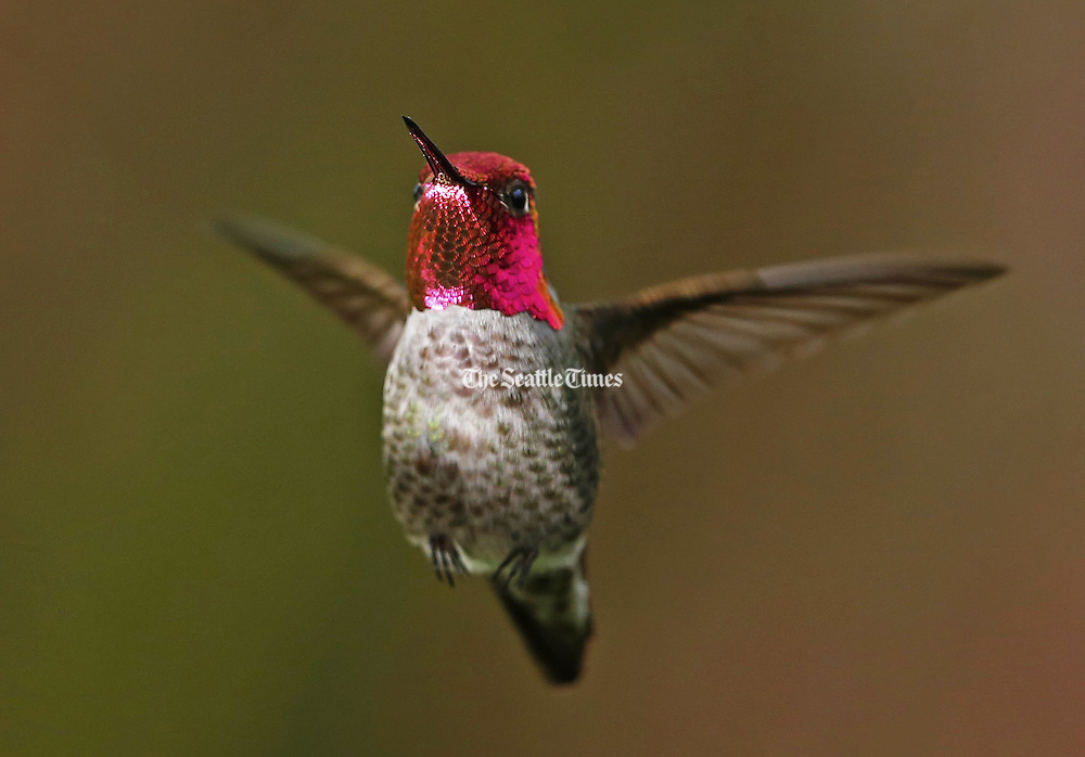 A male Anna's Hummingbird with his sparkling pink throat and cap on display flutters to a halt in mid air before soaring off to feed on a blossom.<br /> <br /> Mark Harrison / The Seattle Times