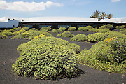 Euphorbia bushes dotted around in black volcanic ash outside Jameos de Agua building, Lanzarote, Canary Islands, Spain