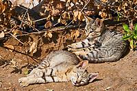 Sultanat d'Oman, gouvernorat de Muscate, Quriyat, village de pêcheur, chat des rues  // Sultanat of Oman, Gulf of Oman, Mascat, Quriyat District, Quriyat, a fishing village, street cat