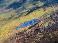 Spotfin Chub<br /> <br /> Bryce Gibson/Engbretson Underwater Photography
