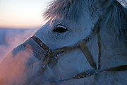 The Pole of Cold - Yakutian horse at a horse breeders farm close to the village of Tomtor. Yakut pony or simply the Yakut, is a rare native horse breed from the Siberian Sakha Republic (or Yakutia) region. It is noted for its adaptation to the extreme cold climate of Yakutia, including the ability to locate and graze on vegetation that is under deep snow cover. The area is extremely cold during the winter. Two towns by the highway, Tomtor and Oymyakon, both claim the coldest inhabited place on earth (often referred to as -71.2°C, but might be -67.7°C) outside of Antarctica. The average temperature in Oymyakon in January is -42°C (daily maximum) and -50°C (daily minimum). The images had been made during an outside temperature in between -50°C up to -55°C. Tomtor, Jakutien, Yakutia, Russian Federation, Russia, RUS, 19.01.2010