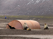 Sea lions rest by rusting remnants of a shore-based whaling factory dating from 1910-1931 on Deception Island, South Shetland Islands near the Antarctic Peninsula. Deception Island is the caldera of an active volcano, which caused serious damage to local scientific stations in 1967 and 1969. The island is now a tourist destination and scientific outpost, with research bases run by Argentina and Spain. The island is administered under the Antarctic Treaty System. The sea surrounding Deception Island is closed by ice from early April to early December.