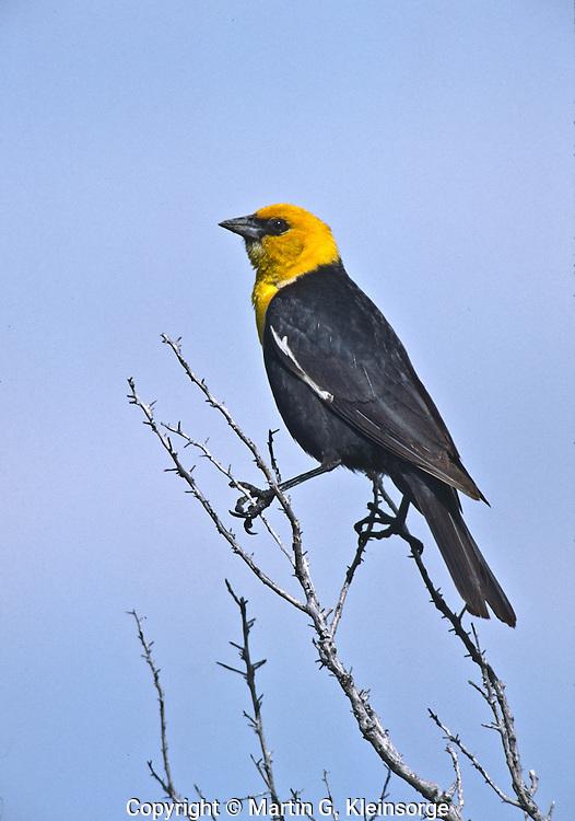 A male Yellow-headed Blackbird (Xanthoecphalus xanthoecphalus) bright yellow hood with black body.  Wetlands habitat around Cotton Lake in the San Luis Valley, Colorado.
